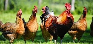 اسعار الدجاج ومشتقاته والبيض واللحوم ومشتقاتها والحليب