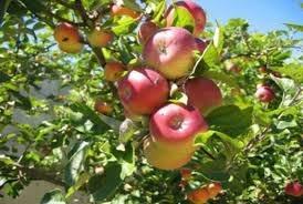 الحويك: لصرف التعويضات لمزارعي التفاح